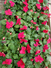 Load image into Gallery viewer, Impatiens - Imara XDR Rose