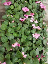 Load image into Gallery viewer, Impatiens - Imara XDR Pink