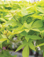 Load image into Gallery viewer, Sweet Potato Vine - Bright Ideas Lime
