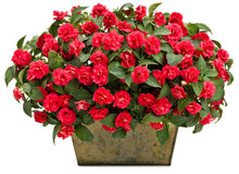 Load image into Gallery viewer, Impatiens - Rockapulco Red