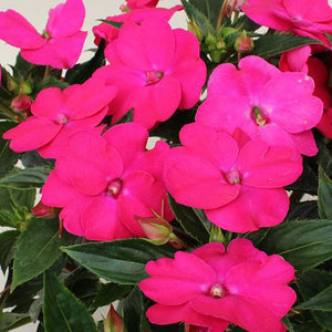 Impatiens - Sunpatiens Vigorous Rose Pink