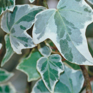 English Ivy - Glacier