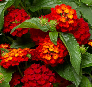 Lantana - Hot Blooded