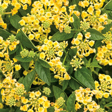 Load image into Gallery viewer, Lantana - Luscious Lemonade