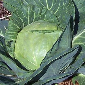 Cabbage - Late Flat Dutch