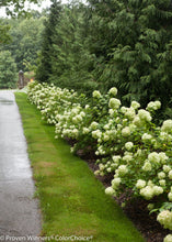 Load image into Gallery viewer, Hydrangea - Little Lime®