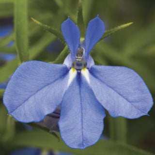 Lobelia - Techno Electric Blue
