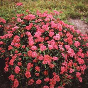 Spiraea - Neon Flash