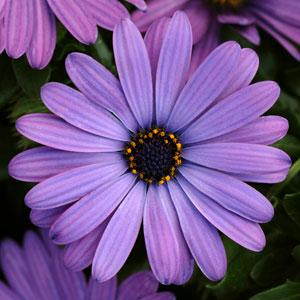 Osteospermum - Zion Denim Blue