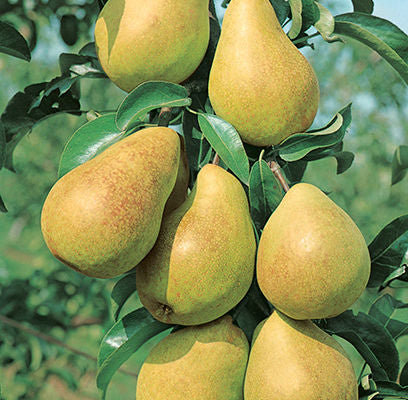 Pear - Semi Dwarf - Luscious