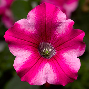 Petunia - Vegetative (Supertunia)