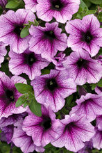 Load image into Gallery viewer, Petunia - Vegetative (Supertunia)