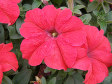 Load image into Gallery viewer, Petunias