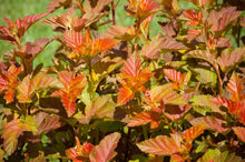 Load image into Gallery viewer, Physocarpus - Amber Jubilee