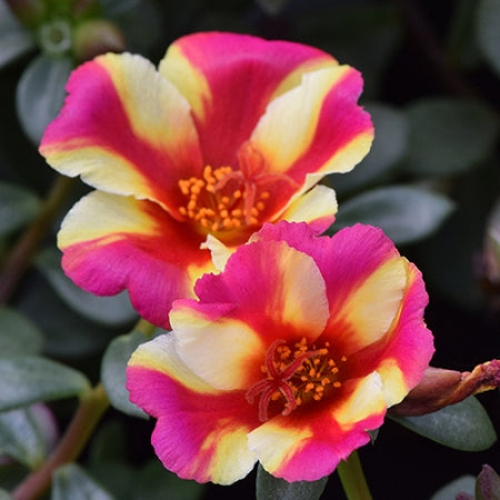 Portulaca - Colorblast Watermelon Punch