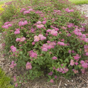 Spiraea - First Editions® Superstar™