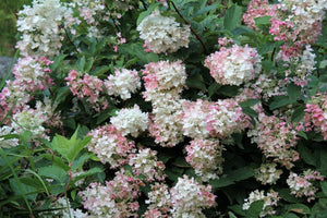 Hydrangea - First Editions® Tickled Pink®