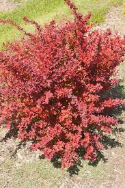 Berberis - Toscana Barberry
