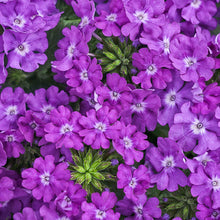 Load image into Gallery viewer, Verbena - Trailing Superbena Violet Ice