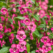 Load image into Gallery viewer, Angelonia - Angelface® Perfectly Pink