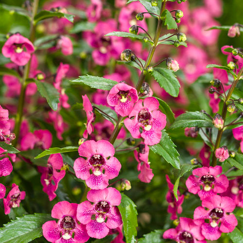 Angelonia - Angelface® Perfectly Pink