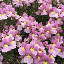 Load image into Gallery viewer, Nemesia - Aromance Pink