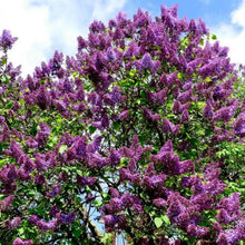 Load image into Gallery viewer, Syringa - Common Purple Lilac