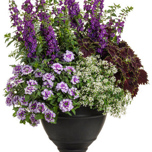Angelonia - Angelface® Super Blue