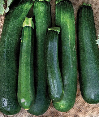 Squash - Zucchini - Black Beauty