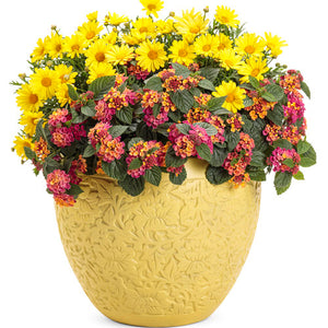 Agryranthemum - Golden Butterfly®