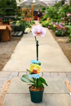 "4"" Phalaenopsis Orchid - Cross Creek Nursery & Landscaping"