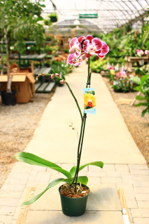 "6"" Phalaenopsis Orchid - Cross Creek Nursery & Landscaping"