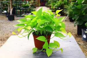 "6"" Pothos Neon - Cross Creek Nursery & Landscaping"