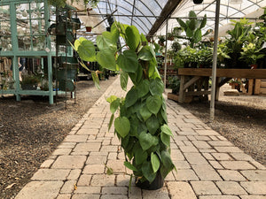 "8"" Philodendron Cordatum Totem - Cross Creek Nursery & Landscaping"