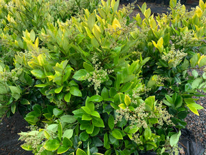 Ligustrum Howardi 3G.