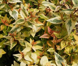 ABELIA KALEIDOSCOPE 3G - Cross Creek Nursery & Landscaping