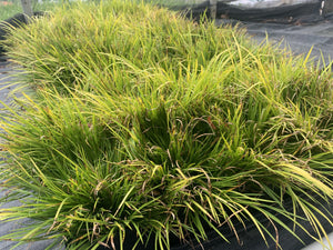 ACORUS MINIMUS AUREUS 1 QUART - Cross Creek Nursery & Landscaping