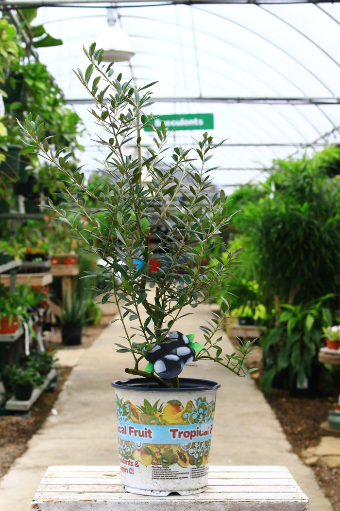 Arbequina Olive 6""