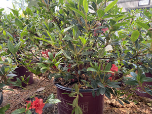 AZALEA EN AUTUMN EMBERS 3G - Cross Creek Nursery & Landscaping