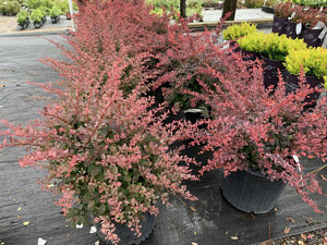 Berberis Rose Glow 3G.