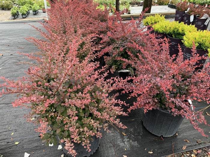 Berberis 'Rose Glow' 3G