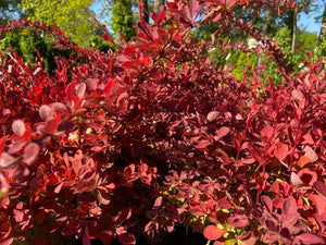 BERBERIS TOSCANA 3G - Cross Creek Nursery & Landscaping