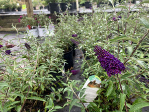 BUDDLEIA BLACK KNIGHT 3G - Cross Creek Nursery & Landscaping
