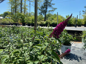 BUDDLEIA MISS MOLLY 3G - Cross Creek Nursery & Landscaping