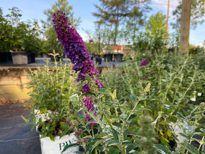 Buddleia 'Miss Violet' 3G