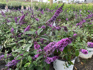 BUTTERFLY BUSH LO AND BEHOLD BLUE CHIP JUNIOR 3G - Cross Creek Nursery & Landscaping