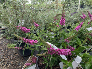 BUTTERFLY BUSH LO AND BEHOLD PINK MICRO CHIP 3G - Cross Creek Nursery & Landscaping