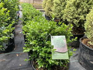 BUXUS LITTLE MISSY 3G - Cross Creek Nursery & Landscaping