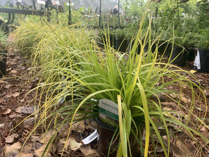 Carex Evercolor Everillo 1G.