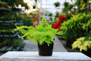 "Cotton Candy Fern 4"" - Gip's Garden Store"